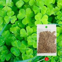 Bibit Rumput Air Dekorasi Aquarium Landscape Ornament - Lucky Clover