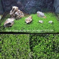 promo Bibit Rumput Air Dekorasi Aquarium Landscape Ornament - Love
