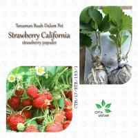 Bibit Strawberry California Tanaman Strawbery Pohon Buah Anakan