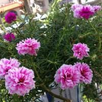 Bibit bunga mossros portulaca merah muda pink sutra bombay