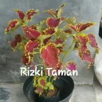 Pohon miyana/miana hijau merah tanaman pot di teras rumah