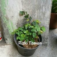 Jual tanman dolar | tanaman rambat | suplier tanaman