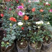 10 Tanaman Bunga Mawar Holland Kaya Warna