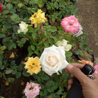 5 Bibit Bunga Hias Mawar Holland Jumbo