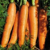Harga 60 biji benih wortel chantenay   Pembandingharga.com