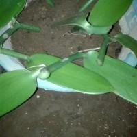 Ready Bibit stek batang pohon panili paneli vanili vani ready