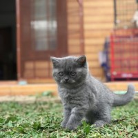Harga Kucing Scottish Fold DaftarHarga.Pw