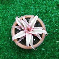 Deskplant_Pink Cryptanthus (Tanaman Meja_Kriptantus Pink)
