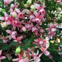 Tanaman hias gantung anting bunga merah putih IMPORT