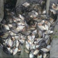 Terlaris Bibit Ikan Bawal Bisa Dikirim Seluruh Indonesia