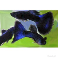 ikan hias guppy Blue moscow pasangan