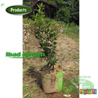 Bibit tanaman jeruk Dekopon Tinggi 1 meter up KONDISI PERNAH BERBUAH