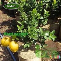 Bibit Jeruk Lemon Tea TTinggi 1 Meter Up Kondisi Pernah Berbuah