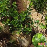 Bibit Jeruk Limo Tinggi 1 Meter Up Kondisi Pernah Berbuah SIAP TANAM