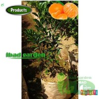 Bibit Jeruk Mandarin Tinggi 1 Meter Up Kondisi Pernah Berbuah