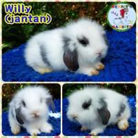 Kelinci Fuzzy Lop Lucu Imut Berkualitas & Termurah~Berrit's Rabbits