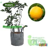 Bibit Jeruk Lemon JUMBO Tinggi 1 meter Up Kondisi Pernah Berbuah