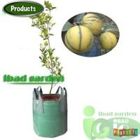 Bibit Jeruk Sunkist variegata Tinggi 1 m Up Kondisi Pernah Berbuah