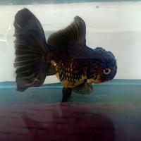 Harga Ikan Koki Import Hargano.com