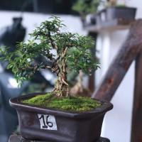 Mame bonsai serbin