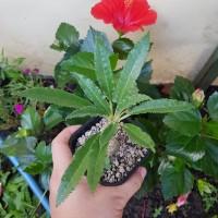 Tanaman Hias Kaktus Sukulen Dorstenia Crispa Dewasa