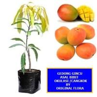 Bibit Mangga Gedong Gincu Pohon Mangga Bibit Buah Mangga Gedong Gincu