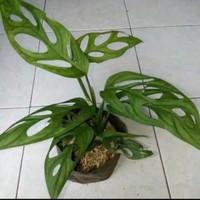 10 Tanaman Hias Bunga Janda Bolong