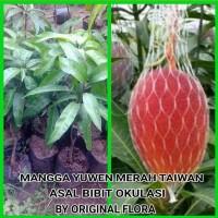 Bibit Mangga Yuwen Pohon Mangga Bibit Buah Mangga Yu Wen Taiwan Merah