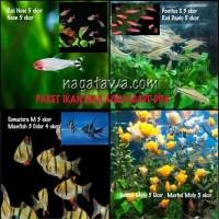 Hiasan Aquarium Paket Dua Ikan Hias Sumatera, Pontius Golden Molly
