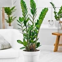 Tanaman hias daun zuzu plant - zamioculcas zamiifolia ISI 3 BATANG