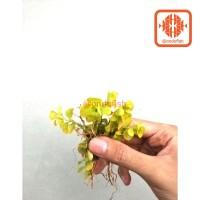 lysimachia tanaman aquascape