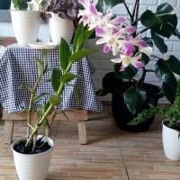 Tanaman hias anggrek dendrobium bunga ungu MATA putih BUNGA INDOOR