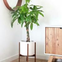 Tanaman hias hoki bambu dracena pacira kepang 3 TANAMAN TEDUH & INDOOR