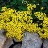 Tanaman hias merambat dan gantung bunga kuning YELLOW BUTTERFLY VINE