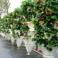 Paket 8 pcs Bibit tanaman stroberi / strawberry california buah manis