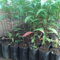 4 Bibit Tanaman Pohon Jenitri Unggulan