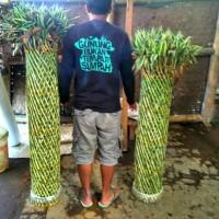 lucky bamboo Sangkar ukuran 100-120.cm | sri rejeki | bambu hoki