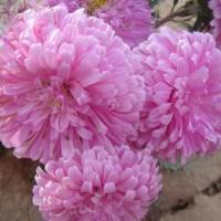 Aster Bonsai Pelangi Rainbow Chrysanthemum Benih Bibit Biji