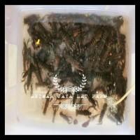 bibit / benih udang raksasa (lobster air tawar) KOMPLIT