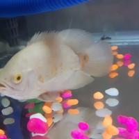Harga ikan oscar albino ukuran 13 14 | antitipu.com
