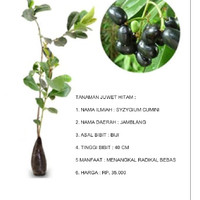 bibit benih biji tanaman buah juwet hitam
