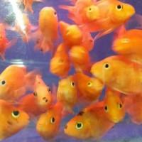Hiasan Aquarium Parot M