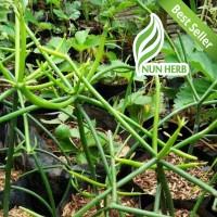 Bibit Tanaman Kayu Patah Tulang - Pohon Kayu Urip - Herbal