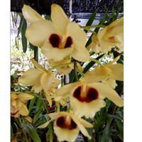 Dendrobium Gatton Sunray special edition 2