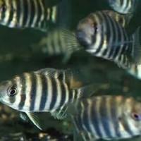 Hiasan Aquarium Zebra Tilapia ( Nentinen ) 3 - 4 Cm