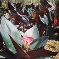 Tanaman hias bunga unik di taman tahan panas ID COSTUS ERYTHROPHYLLUS