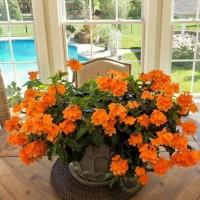 Tanaman hias Bunga crossandra / rosandra orange BUNGA TAHAN PANAS