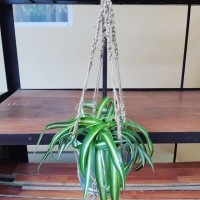 Hanging Plant-Curly Bonnie Spider Plant-Self Watering
