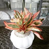 Tanaman hias untuk indoor dan teduh peperomia clusiifolia daun merah