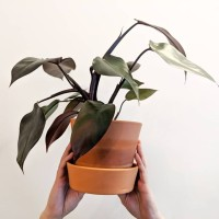 Philodendron burgundy princess - bloody mary NO pink - TANAMAN INDOOR